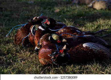 Death pheasants after shooting