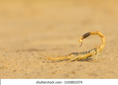 The deathstalker (Leiurus quinquestriatus) is a species of scorpion, a member of the Buthidae family. It is also known as the Israeli yellow scorpion Omdurman scorpion, Naqab desert