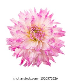 Deautiful flower dahlia isolated on a white background