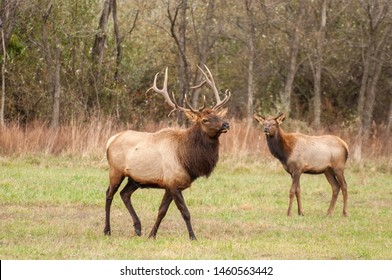 Debord, Kentucky / United States - November 22 2015 Bull Elk in the snow with cow