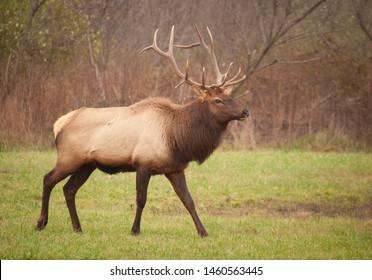 Debord, Kentucky / United States - November 22 2015 Bull Elk in the snow