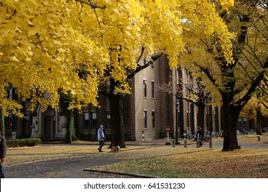 Dec 1, 2016 - Tokyo, Japan: Students go to the University of Tokyo in Autumn.Ginkgo Biloba yellow leafs in university.