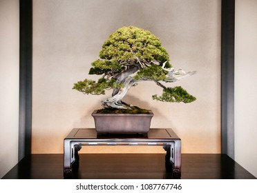 DEC 10, 2012 Omiya, Saitama, JAPAN - Juniper Bonsai on wooden table in traditional Japanese style room at Omiya Bonsai Museum in Bonsai village