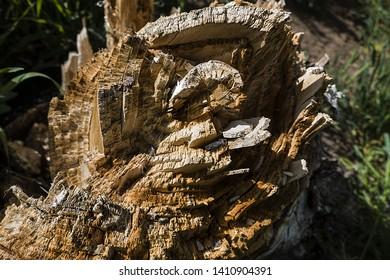 decayed tree stump, decayed root of poplar tree,