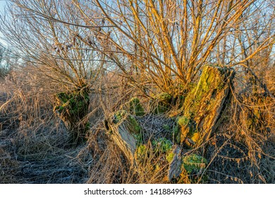 Decayed tree trunk covered with moss in the radiant light of the morning sun. The photo was taken at the end of the winter period in the Dutch National Park Biesbosch near Werkendam, North Brabant.