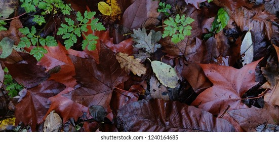 Decaying leaves in forest wet ground.