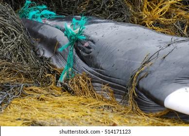 Deceased minke whale on a bed of seaweed.