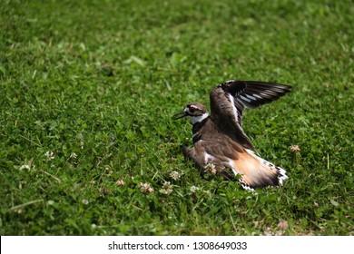 Deceitful Killdeer Bird Faking an Injury in the Grass