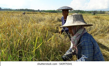 December 26, 2016 : happy farmers harvesting rice in Thailand, Thai farmers work in rice field in harvest season, in the North of Thailand, Everyday they endure from the sun, hot weather