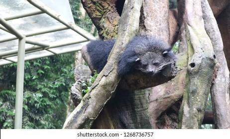 December 8, 2018 : Binturong in Taman Safari, Bogor, West Java, Indonesia
