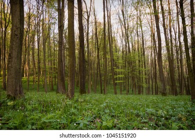 Decidious forest in the spring time with green carpet or wild grass and flowers.
