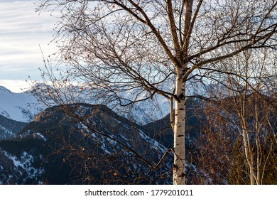 Deciduous birch tree in the wintry snowy mountains