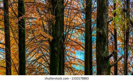 Deciduous Cypress at winter