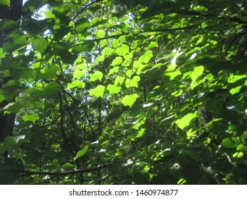 The deciduous forest with green leafs