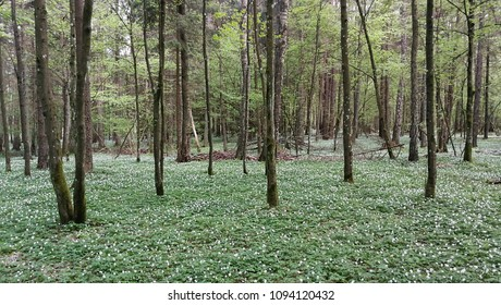 Deciduous forest in spring with Anemone flowering, Bialowieza Forest, Poland, Europe