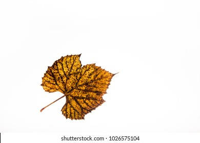 Deciduous, ivy leaves, dead leaves in autumn.