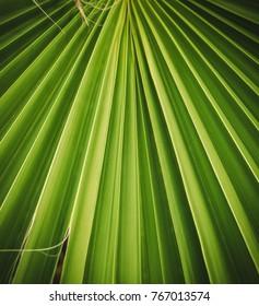 Deciduous pattern. Palm leaf hamerops