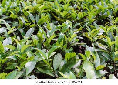 deciduous shrub, green leaves, deciduous plant