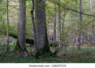 Deciduous stand ash and oak trees in autumn, Bialowieza Forest, Poland, Europe