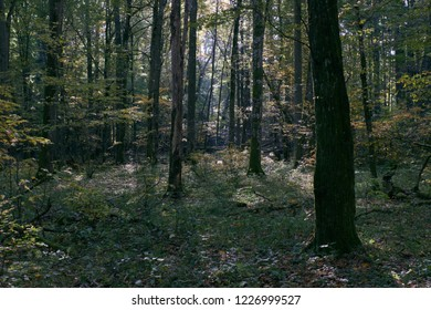 Deciduous stand in autumn mornin sunrise, Bialowieza Forest, Poland, Europe