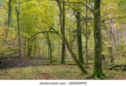 Deciduous stand in autumn morning sunrise, Bialowieza Forest, Poland, Europe