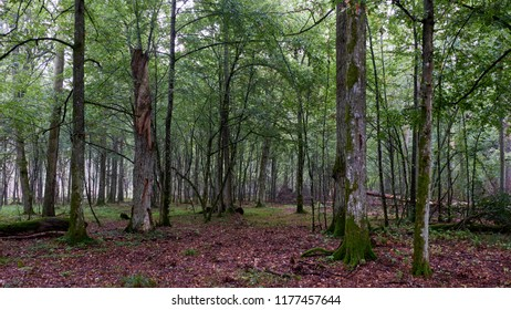 Deciduous stand of Bialowieza Forest with hornbeams and oak in summer, Bialowieza Forest, Poland, Europe