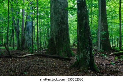 Deciduous stand of Bialowieza Forest in summer with broken trees in foreground partly declined and moss wrapped,Bialowieza forest,Poland,Europe