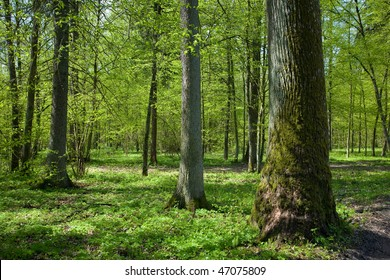 Deciduous stand of Bialowieza Forest at sunny springtime day with old oak tree on right