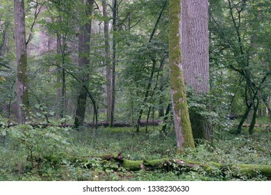 Deciduous stand with sunbeams and oak in summer, Bialowieza Forest, Poland, Europe