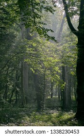 Deciduous stand with sunbeams and oak in summertime misty morning, Bialowieza Forest, Poland, Europe