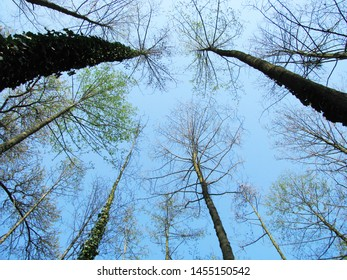 Deciduous trees at the bottom of the sky. Creeping plant on the trunk.