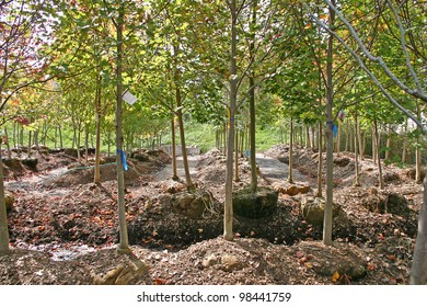 Deciduous trees with root balls ready to be transplanted