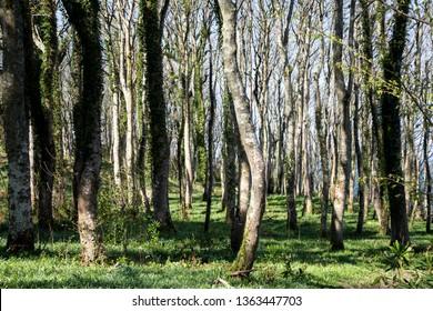 Deciduous woodland in Argyll Scotland in springtime