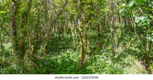 Deciduous woodland  in Cornwall UK in the spring with flowering bluebells