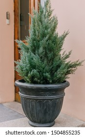 Declarative pines in pots in front of the entrance and the old door