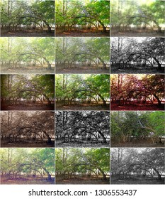declination of an undergrowth in the mangrove in the peninsula of