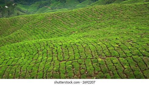 Declining tea plantations in Cameron Highlands, Malaysia