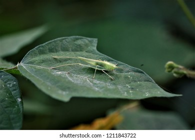 Decma fissa, a katydid found in Southwest China.