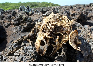 A decomposed skeleton of a marine iguana on the island of Isabela in the Galapagos Islands, Ecuador