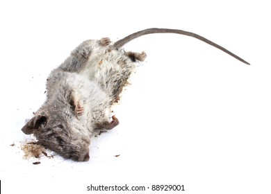 Decomposing life cycle of a grey field mouse (Mus Musculus)  - day 004