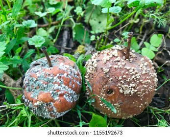 Decomposing red apples fallen on ground. Rotten brown apples in fruit garden on green grass. Autumn in garden