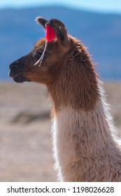 Decorated Bolivian llama in the wild
