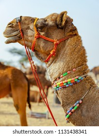 Decorated camel at the Pushkar fair (Pushkar Mela) - Rajasthan, India, Asia