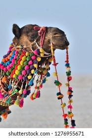 Decorated camel in Rann Utsav at White Rann, Kutch, Gujarat, India