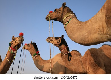 Decorated camels at the Pushkar Camel Fair, Rajasthan, India