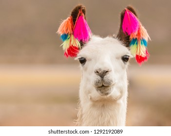 decorated lama closeup in the Andes region Bolivia