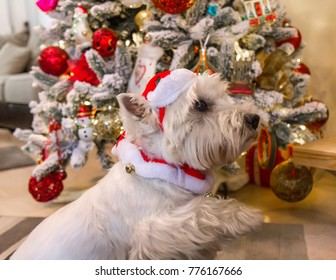 Decorated west highland white terrier dog in front of Christmas tree