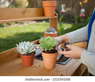 Decorating clay pots with succulent plants with marble gravel at garden bench in backyard.