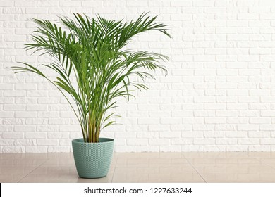 Decorative Areca palm near white brick wall