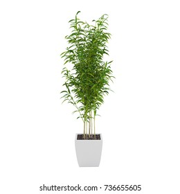 Decorative Bamboo Muriel tree isolated on white background. 3D Rendering, Illustration.
